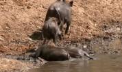 На лов за Брадавичеста свиня