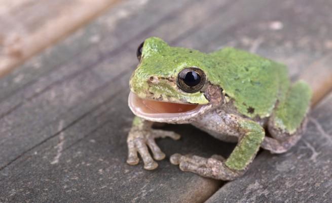 На снимката е друг вид жаба