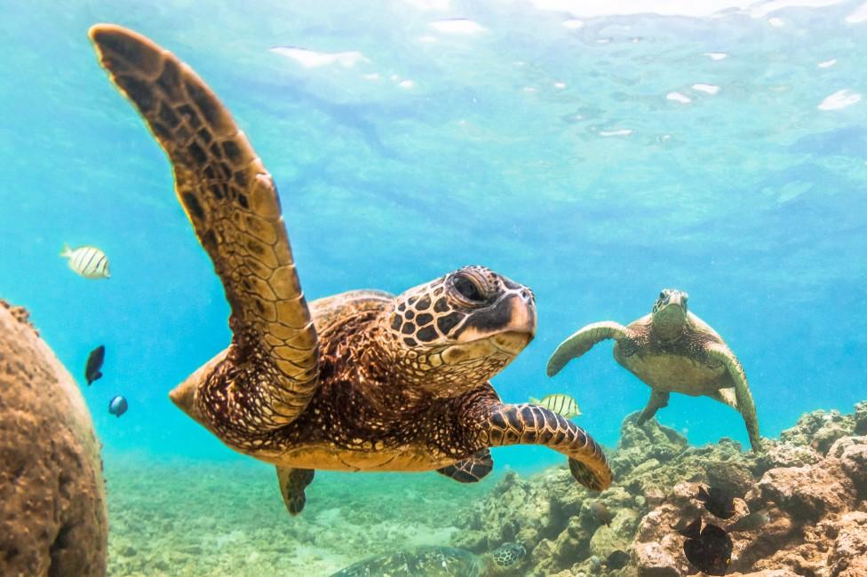- Гигантската костенурка Диего, която е вече на 100 години, спаси вида си от изчезване с активен секс.Диего е от вида, който живее в естествена среда...