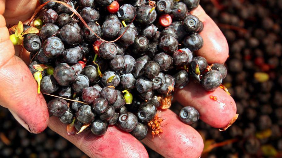 Червените боровинки неутрализират мазната храна
