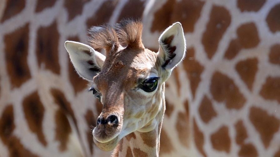 Би Би Си: Ежегодно убиват хиляди животни в зоопаркове