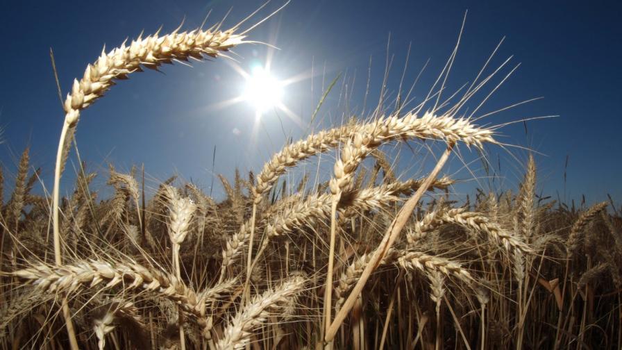 Земеделците очакват по-ниски добиви на зърно