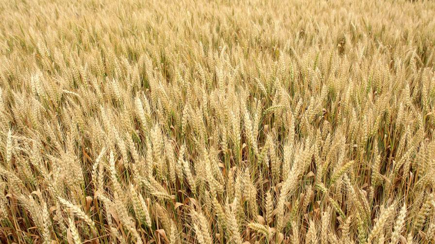Дъждовете доведоха до щети при реколтата