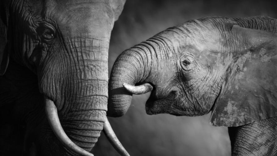 Слоновете разпознават човешките гласове