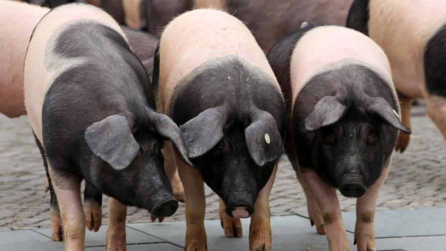 Британски военни взривявали прасета в бронежилетки