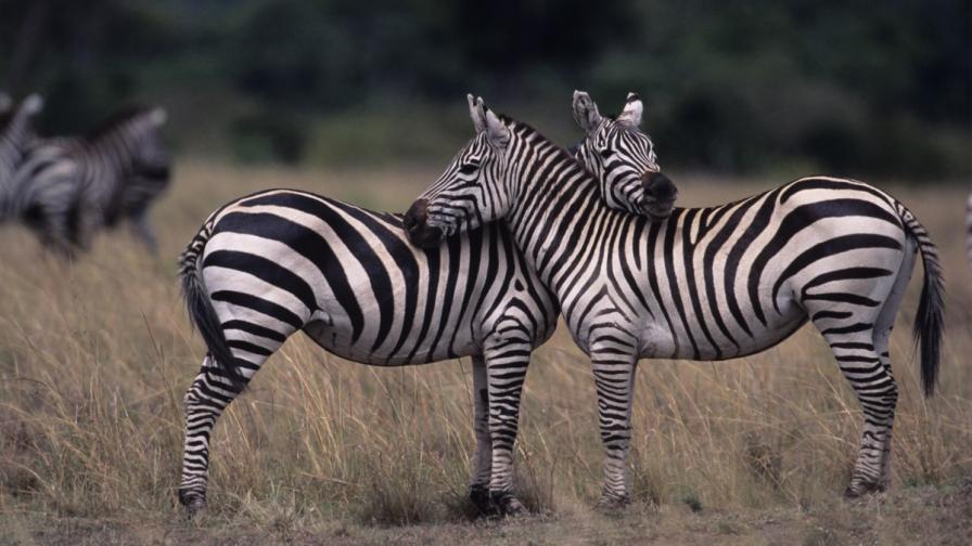 Разкриха защо зебрите имат ивици