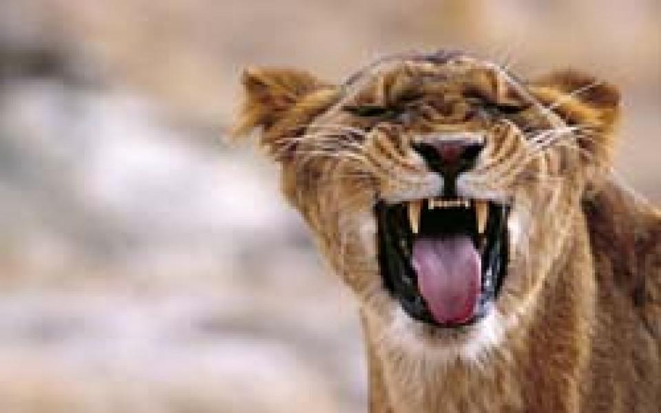 Лъвицата Елза се завръща