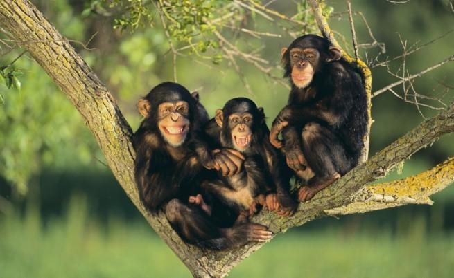 Шимпанзета си направиха стълба и избягаха от зоопарк