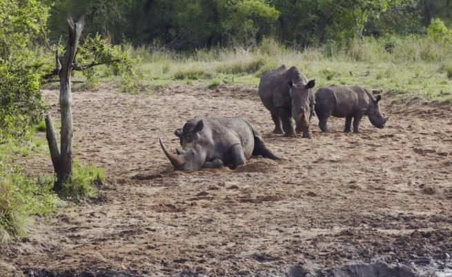Носорозите са застрашени от изчезване до 2020 година