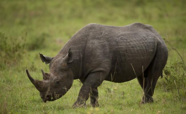Черен носорог