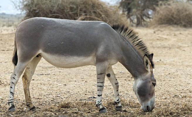 Африканско диво магаре