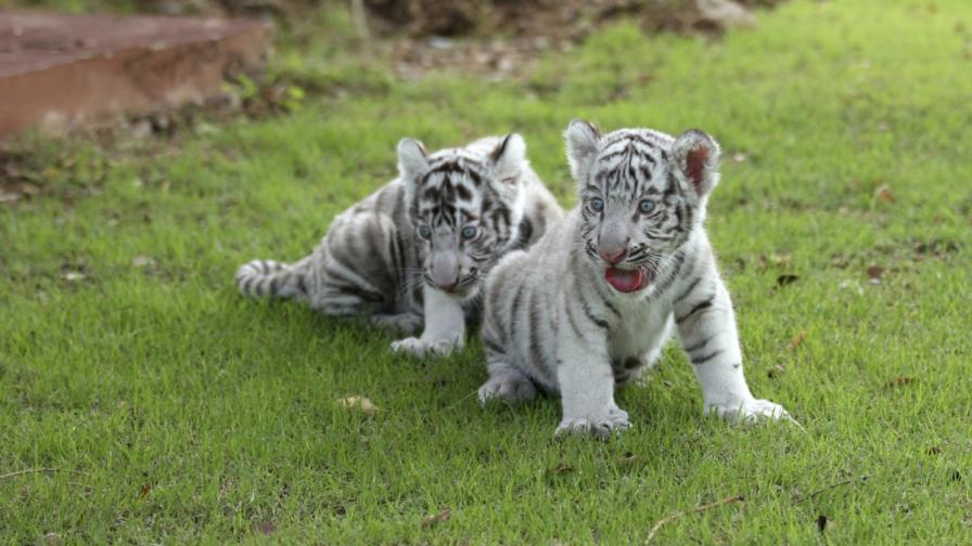 Показаха три бели тигърчета в зоопарк в Аржентина