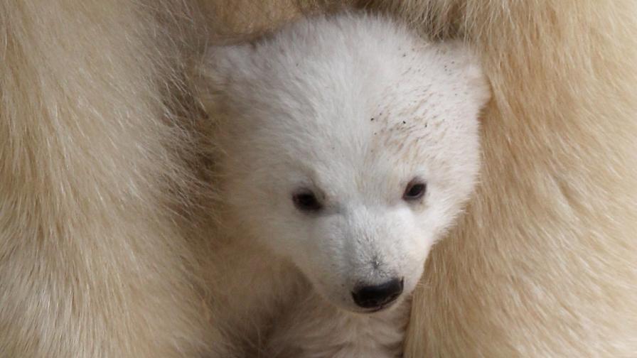 Какво можем да научим от полярните мечки за храненето