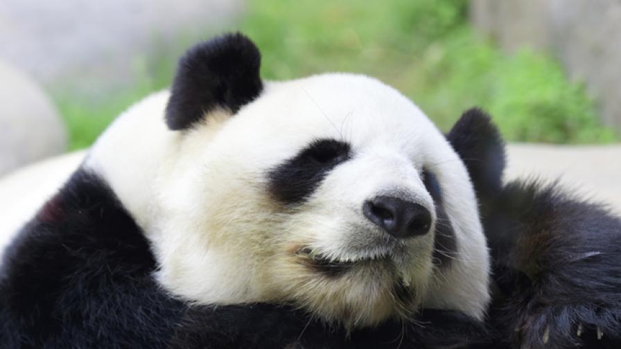 Редки кадри на влюбени панди (видео)