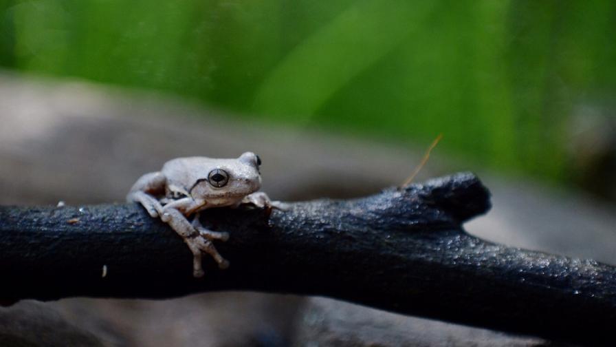 "Откриха 14 непознати вида ""танцуващи"" жаби"