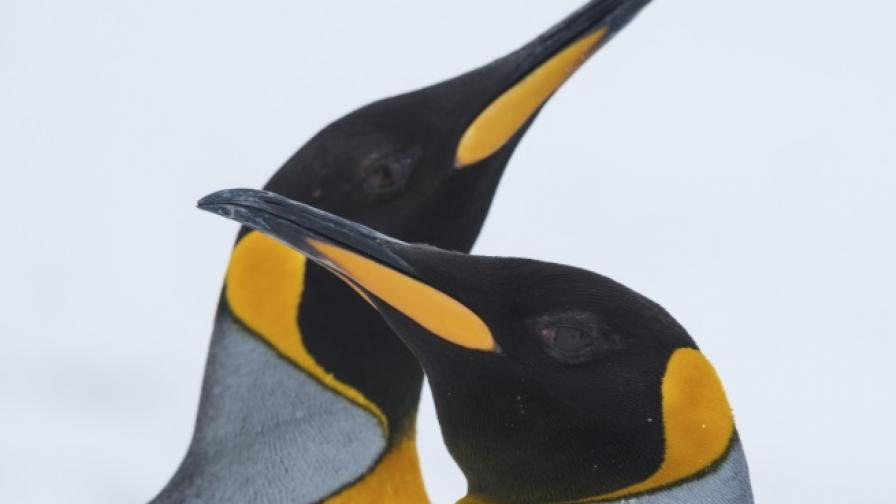 Защо пингвините не усещат вкуса на рибата