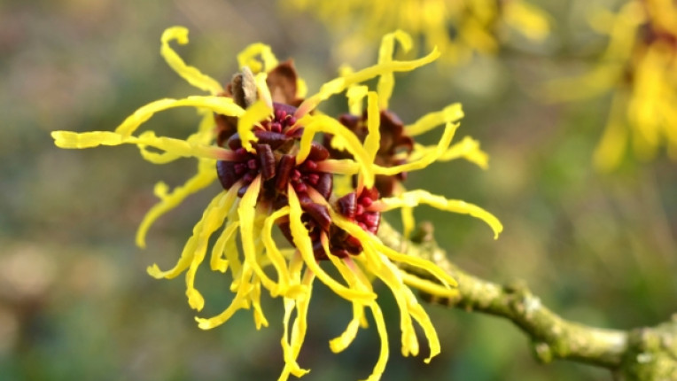 хамамелис билка сърбеж