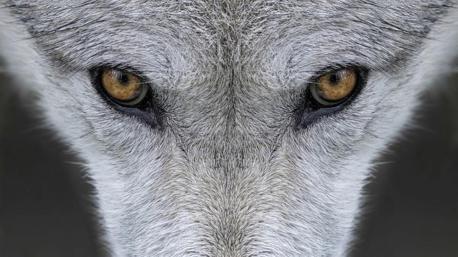 Страх край Панагюрище: Вълци изядоха 20 коня