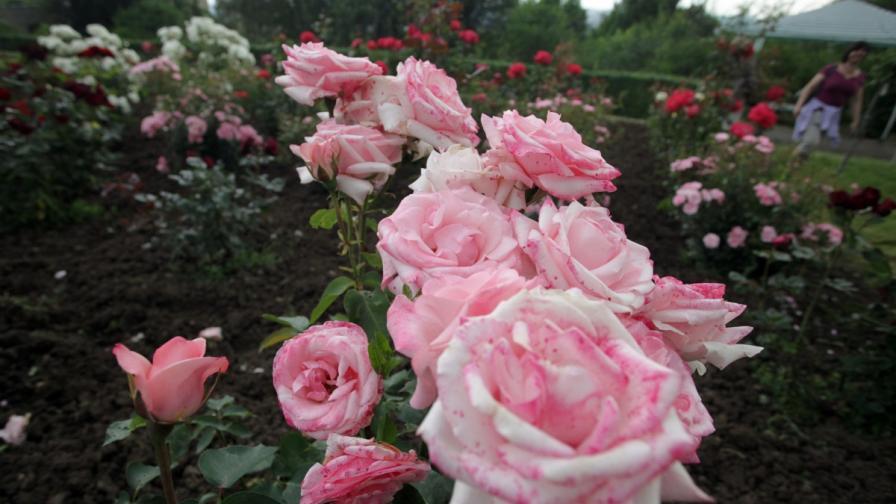 Днес е Денят на розата