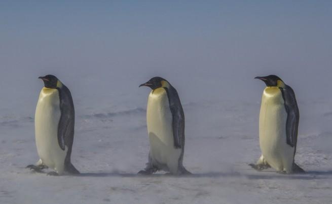 Тъмната страна на пингвините