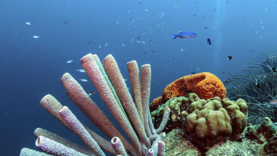 Кораловите рифове в Карибско море изчезват до 20 години?