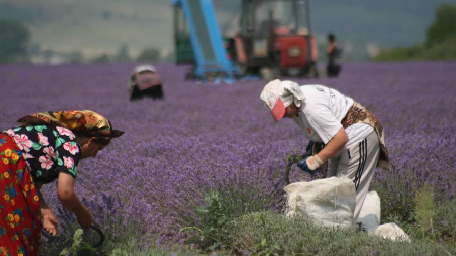 """""""Фигаро"""": България – световен гигант в производството на лавандулово масло"""