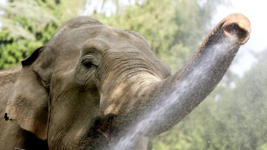 Слон почеса корема си с автомобил