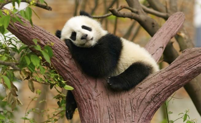 Защо наистина трябва да спасим пандите?