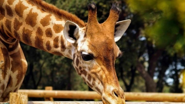 жираф зоологическа градина
