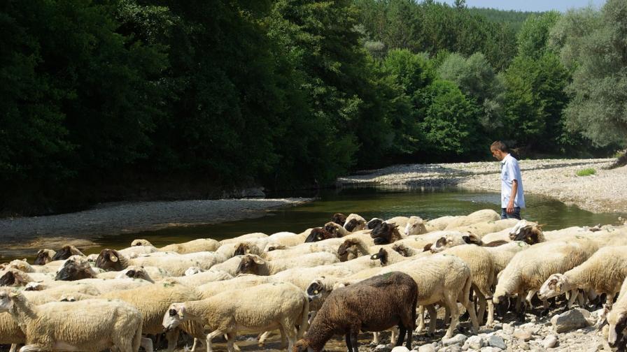 """Обезщетяват собствениците на животни със """"син език"""" по пазарна цена"""