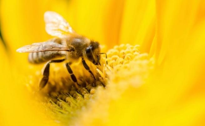Пчелите имат изненадващо добро зрение