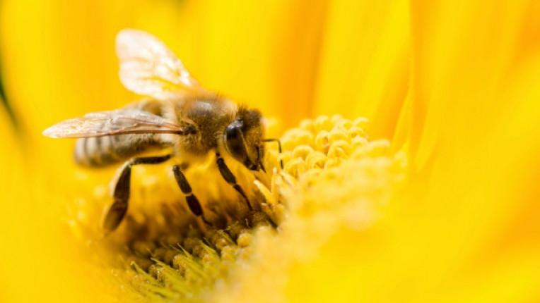 Пчела мед пчелен прашец