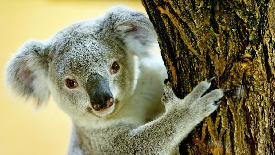 Мъж спаси коала с изкуствено дишане и стана герой