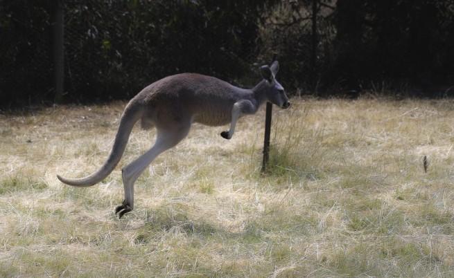 Семейство кенгурута загинаха от отравяне в хасковския зоопарк