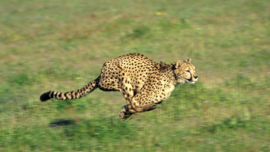 Гепардите изразходват малко енергия, докато ловуват