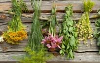 Живовляк - универсалното природно лекарство