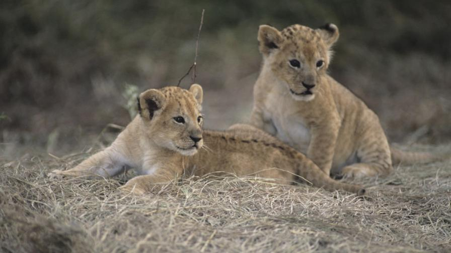 Разград продава лъвчета на търг