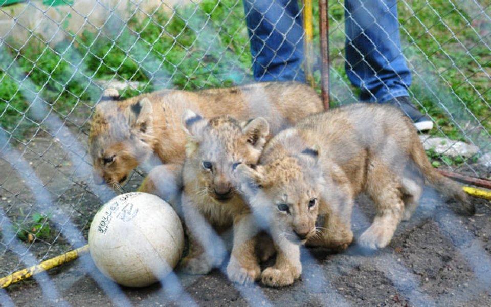 Лъвчетата в Разград ще се казват Моци, Дяков и Стоянов?!