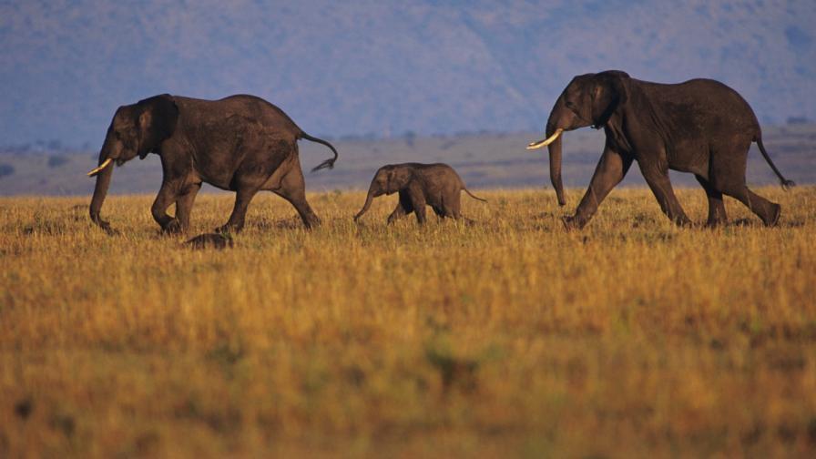 Намибийските слонове са отлични метеоролози