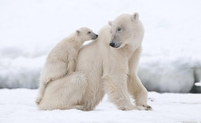 Бракониери обезглавиха и одраха сибирски полярни мечки