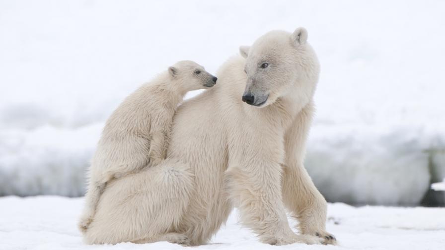 Бракониери обезглававиха сибирски полярни мечки