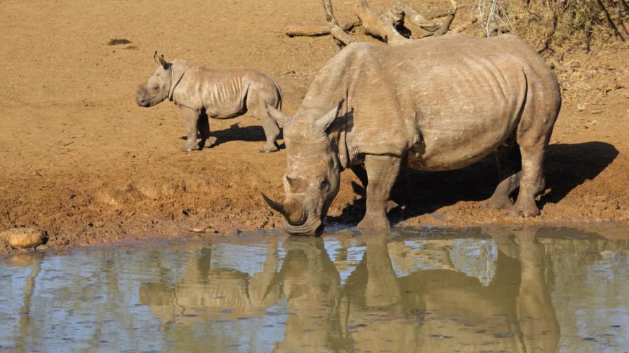 Рекорден брой носорози са убити в Южна Африка тази година