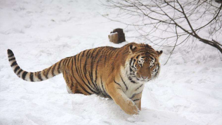 Тигър-емигрант може да се завърне в Русия