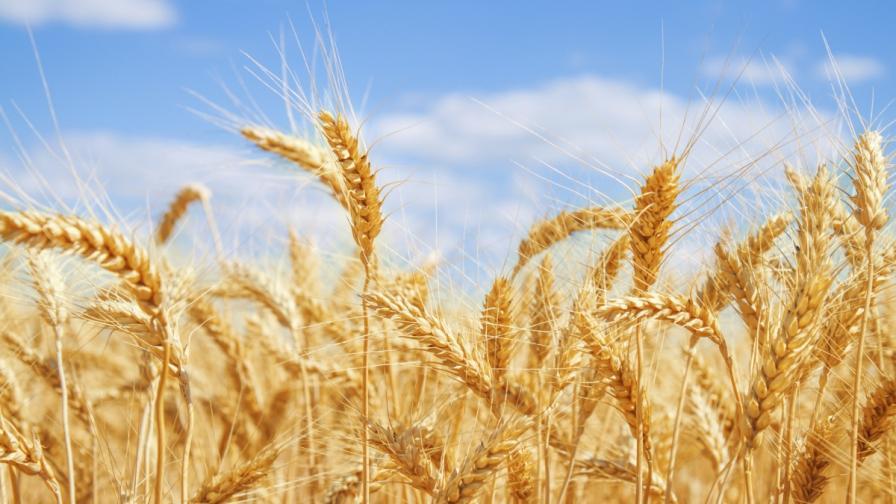 Русия спира износа на пшеница и зърно