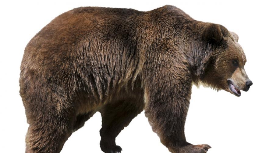 Кафява мечка е забелязана край Чернобил за първи път от 100 години