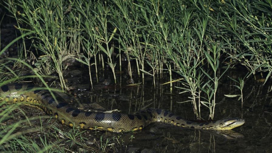 Изяденият от анаконда: Притеснявах се за змията, а не за себе си