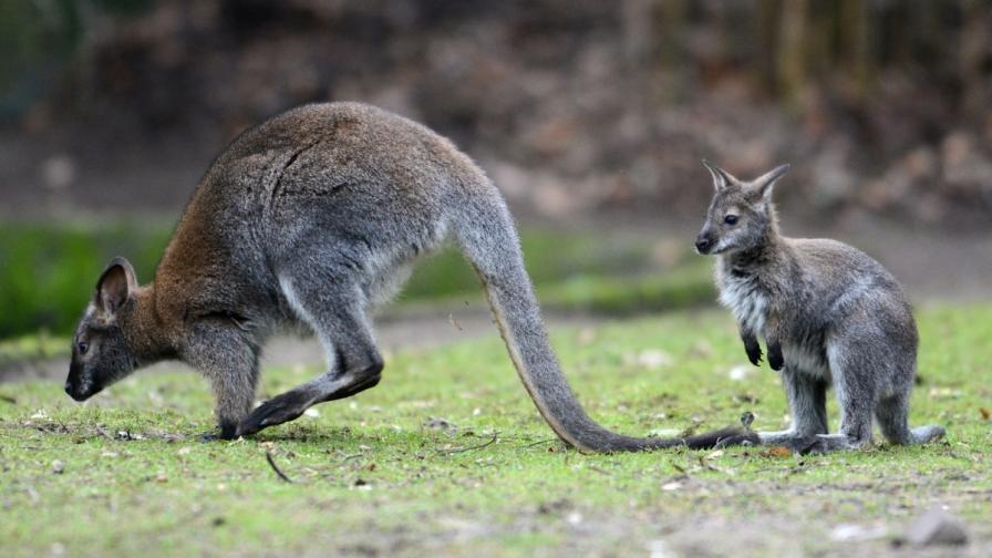 Кенгурата заплашват влечугите в Австралия