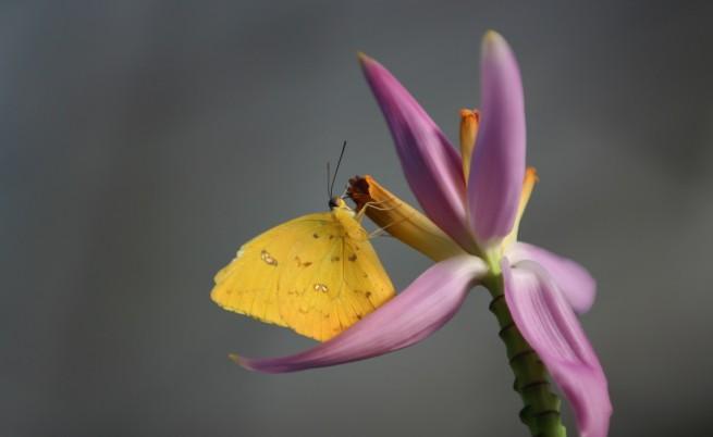 Серна пеперуда с оранжеви ленти