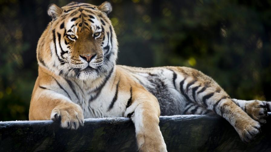 В Русия похапват тигър, в Китай – гигантски саламандър