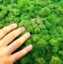 Зелени стени от скандинавски мъх за интериора
